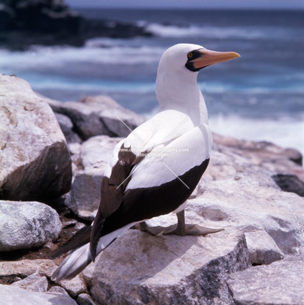 masked booby, close up, near the sea on hood island, galapagos islands