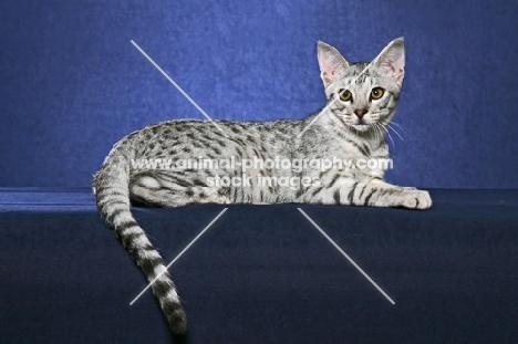 Ocicat lying on blue background