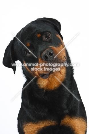Rottweiler portrait, cut out option