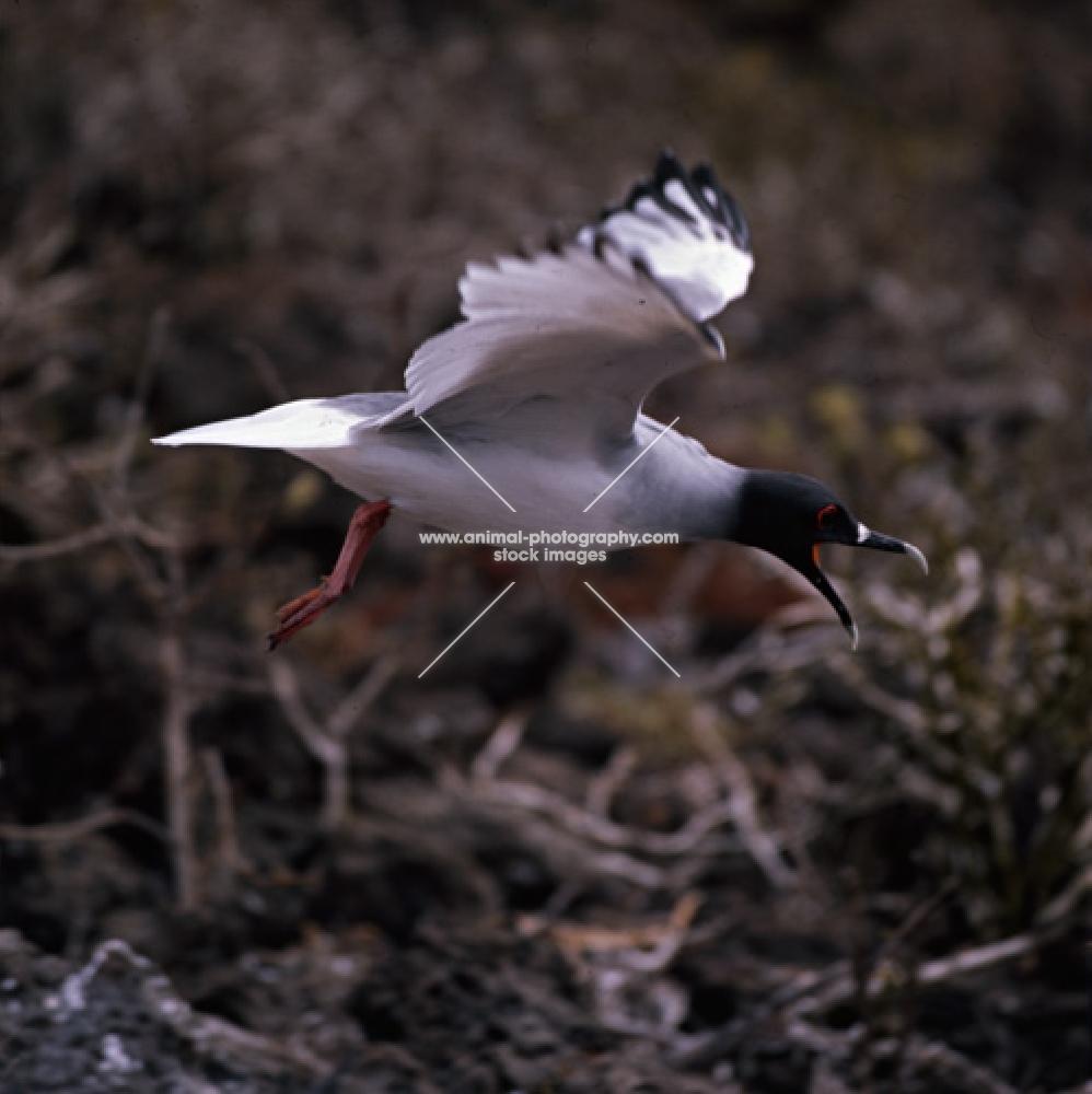 swallow-tailed gull flying, raising alarm, champion island, galapagos islands