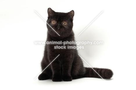 black Exotic Shorthair looking at camera