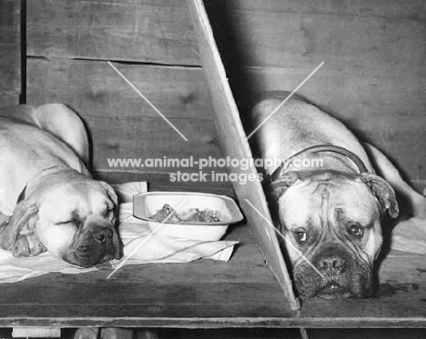 two bullmastiffs at Crufts on benching