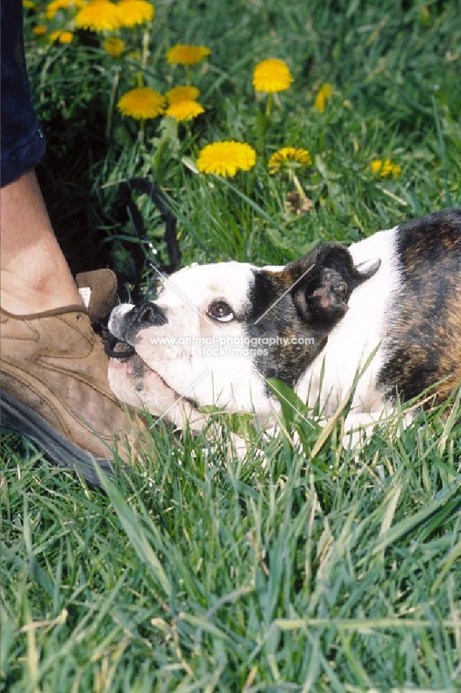 Olde English Bulldogge, chewing shoe