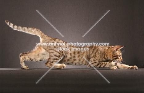 Ocicat, prowling