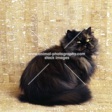 ch comari persian garden, tortoiseshell cat