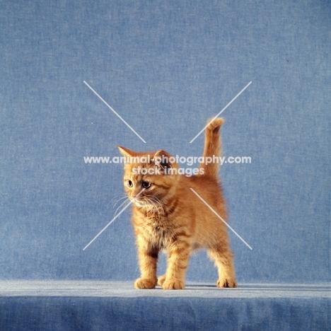 red tabby long hair kitten