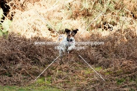 JRT running through dead Fern in woods