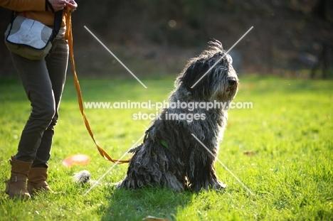 Bergamasco shepherd sitting in a field with owner