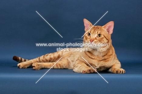 Ocicat lying down, cinnamon spotted tabby colour
