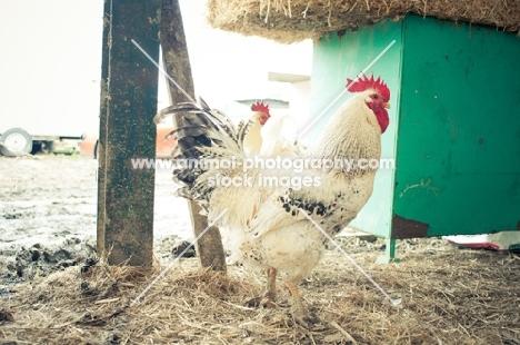 Light Sussex Cockerel in barn