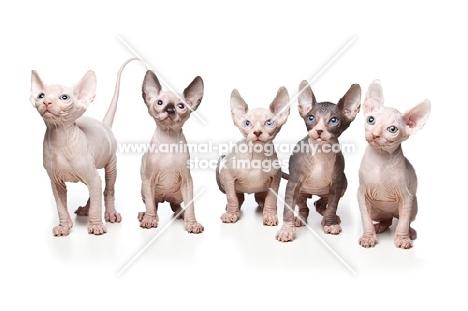 five 7 week old Sphynx kittens