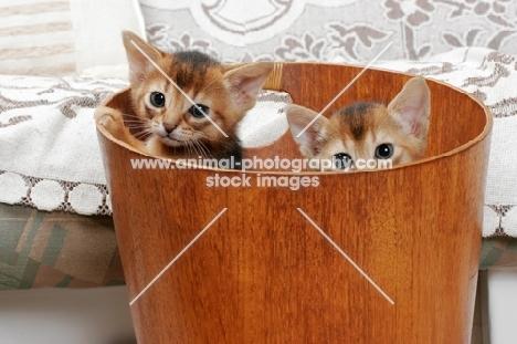 two ruddy Abyssinian kittens in a bucket