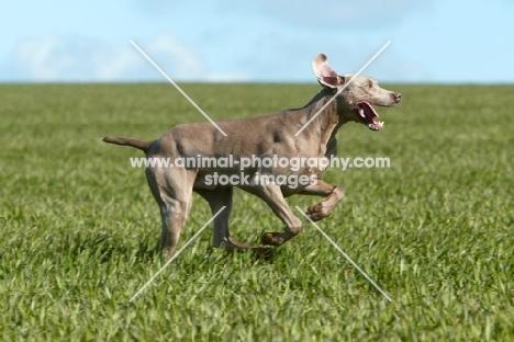 Weimaraner running in field
