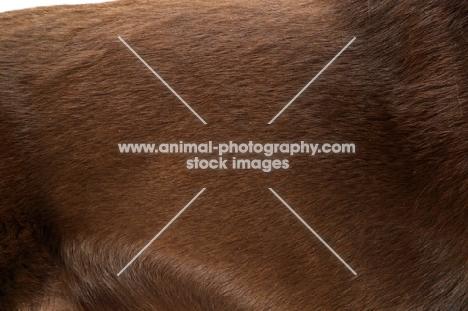 Australian Champion Kelpie coat
