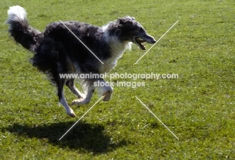 borzoi running on grass
