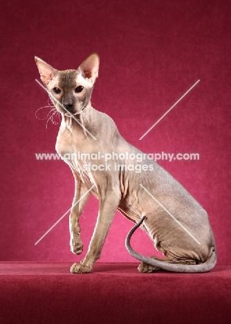 elegant Peterbald cat sitting against pink background