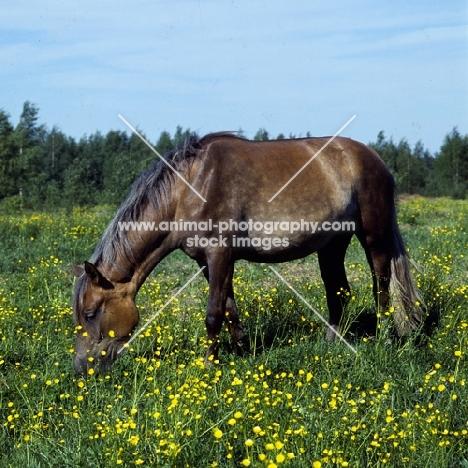 Finnish Horse grazing at Ypäjä, brown with grey mane