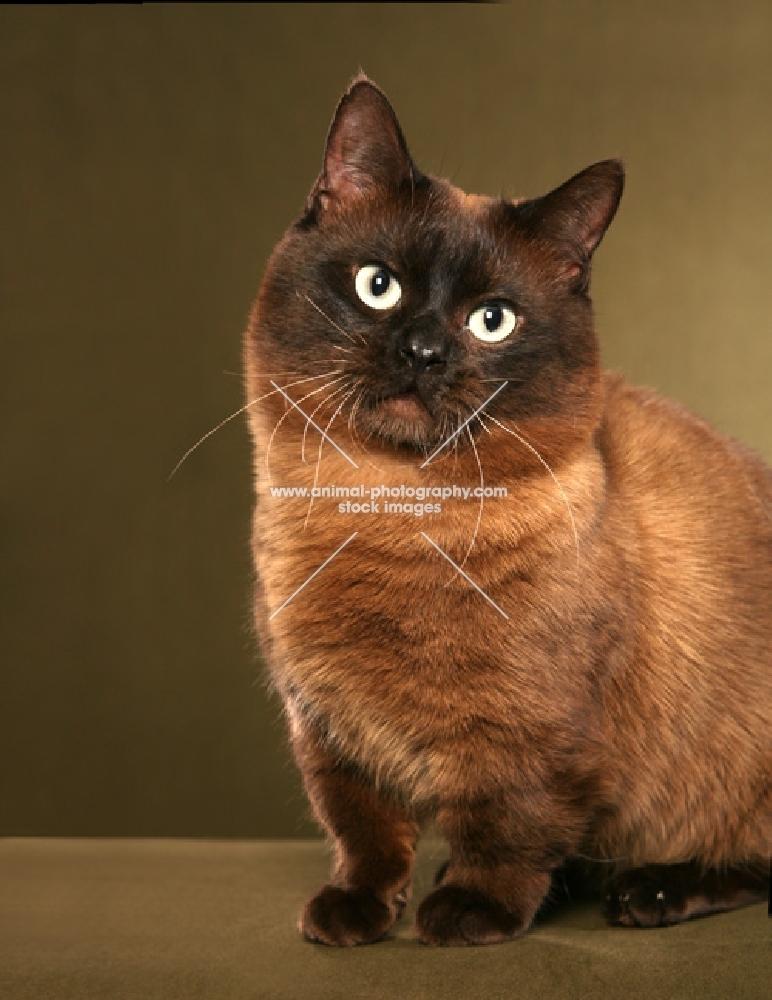 Munchkin cat sitting down