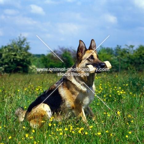 german shepherd dog holding dumb-bell