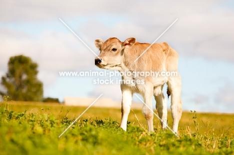 Swiss brown calf standing in field