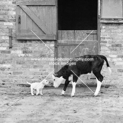 calf meeting a labrador puppy