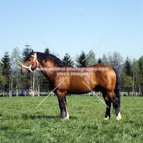 Hillaire  Freiberger stallion in field in Switzerland