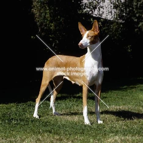 ch paran prima donna, ibizan hound standing on grass