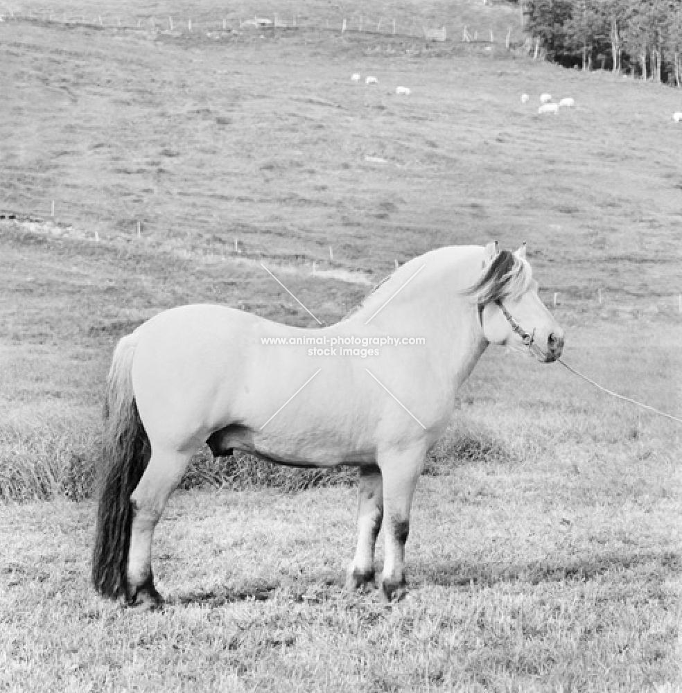 Fjord Pony in field