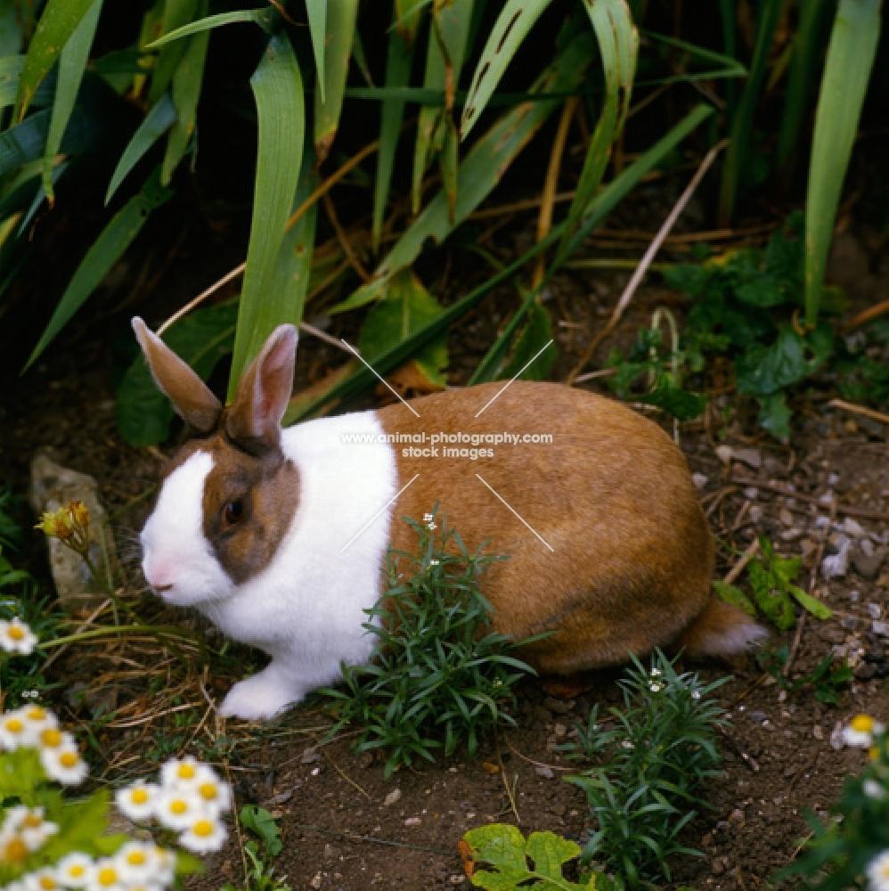 tortoiseshell dutch marked rabbit in a garden with flowers