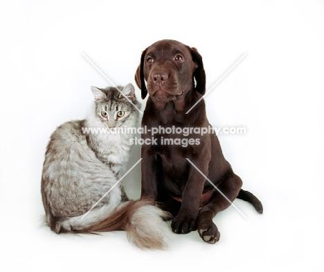 Chocolate Labrador sitting next to cat