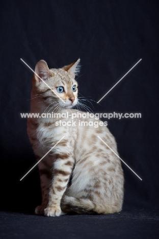 Bengal cat sitting, studio shot on black background