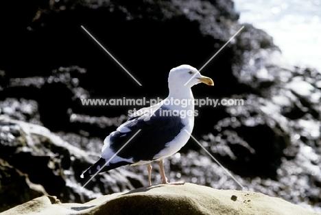sea gull in usa