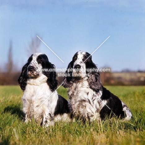two blue roan english cocker spaniels sitting in a field