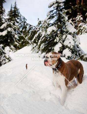 Old English Bulldog standing in snow