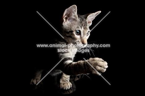 peterbald kitten shaking paw