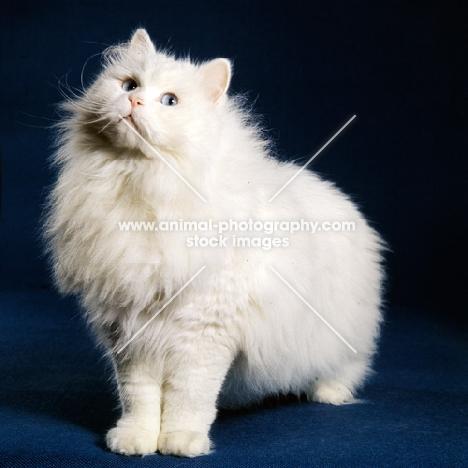 blue eyed white long hair cat stretching