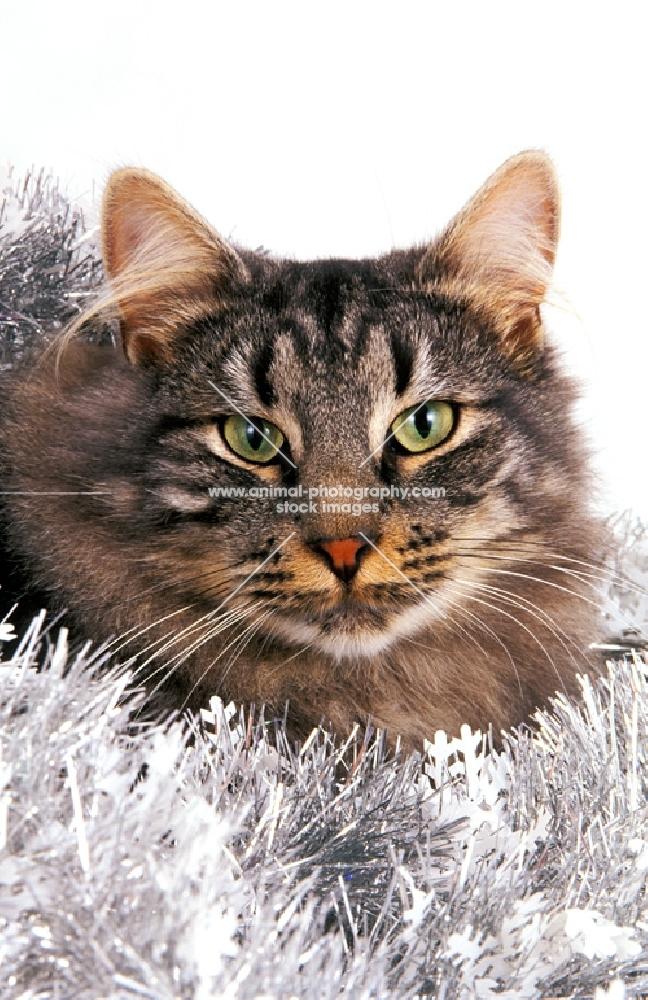 Norwegian Forest cat amongst tinsel