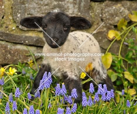black faced lamb in spring