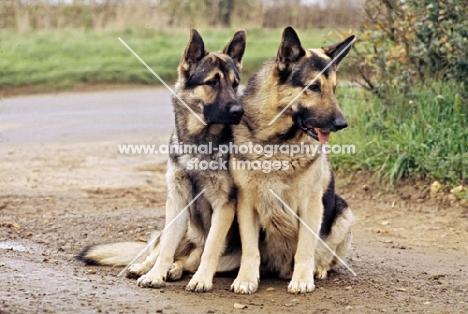 druidswood anchorman, right, two german shepherd dogs