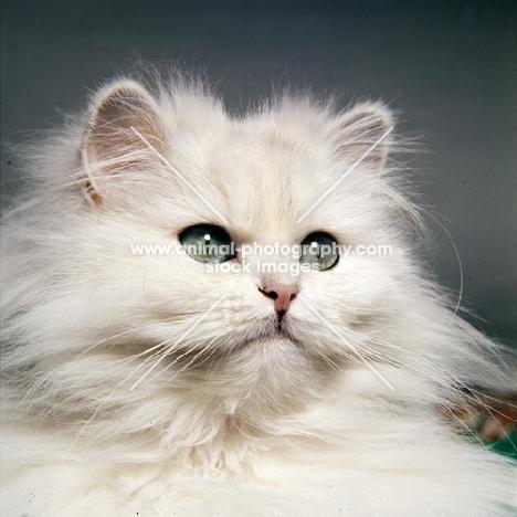 chinchilla cat, portrait