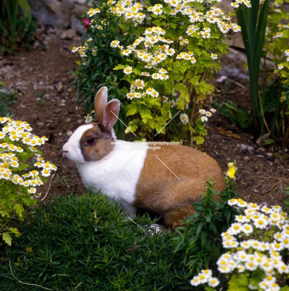 dutch tortoiseshell rabbit