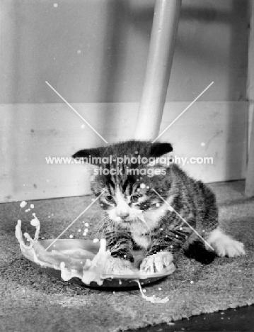 tabby kitten splashing milk in dish
