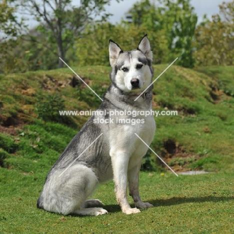 malamute cross husky