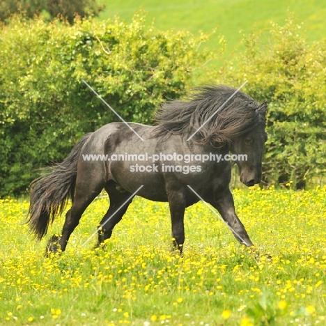 Fell pony running in field