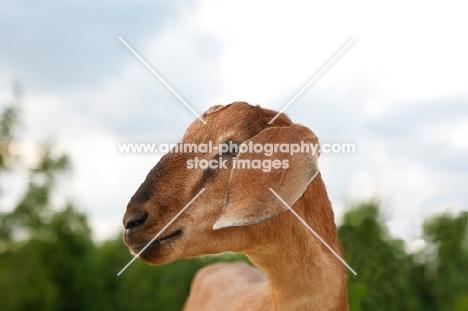 nubian goat looking aside