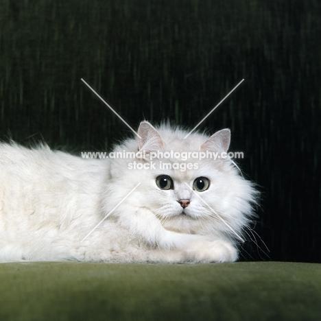 Champion Shengo Eleiza, Chinchilla cat looking into camera