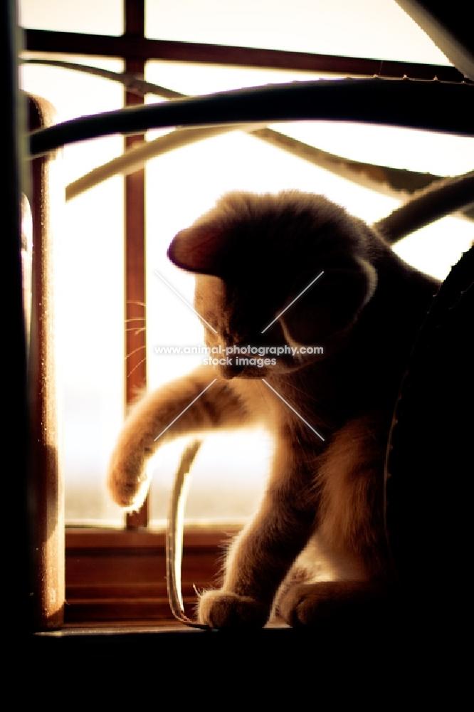 Kitten playing in window