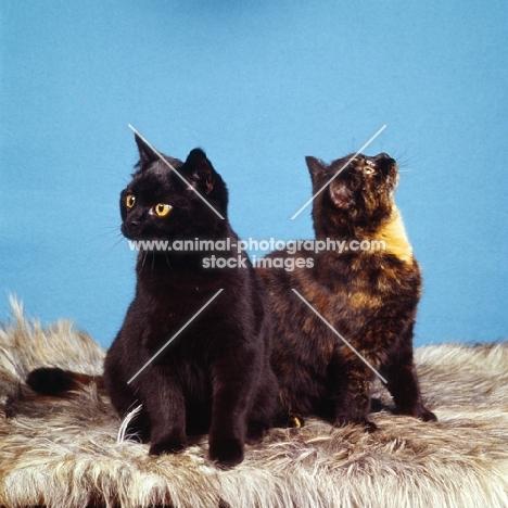 tortoiseshell cat and black cat non pedigree