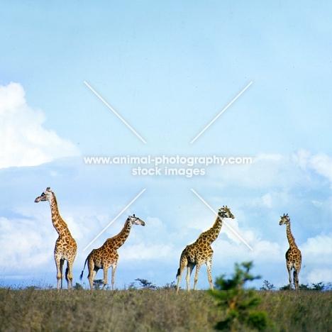 four giraffes in nairobi np, africa