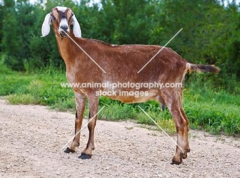 nubian goat side view